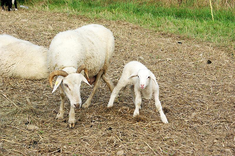 Auen Bündner Oberländer Schaf