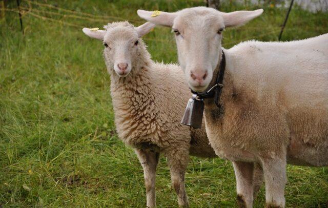 Stein und Schafe