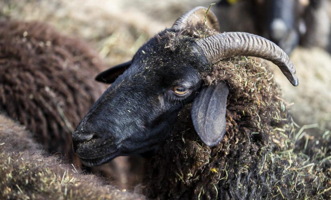 Bündner Oberländer Schaf
